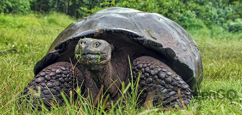 Volcanoes-in-the-Galapagos-giant-tortoise