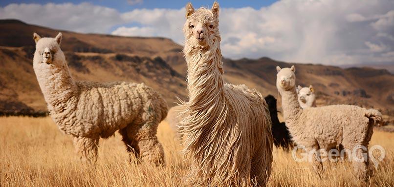 machu-picchu-weather-llamas