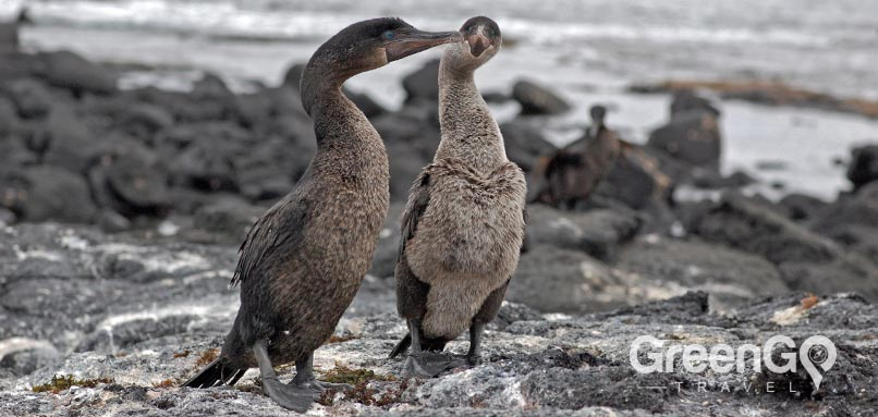 Flightless-cormorant in the Galapagos