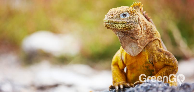 Yellow Land-iguana