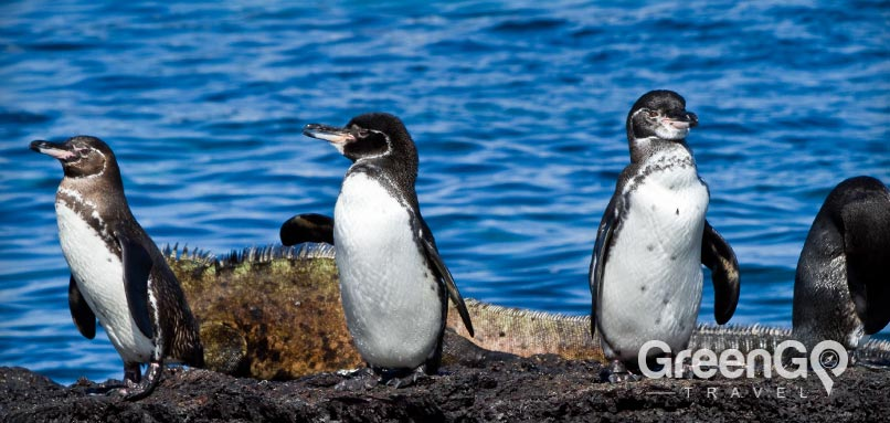 Galapagos animals -penguins Can you stay on the Galapagos Islands?
