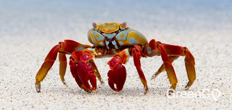 Galapagos-animals-sally-lightfood-crab