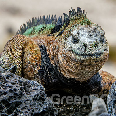 Elite-Galapagos-Cruise-in-2019-Land-Iguana