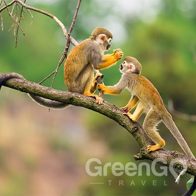 anakonda-amazon-cruise-ship-tour-Amazon monkeys