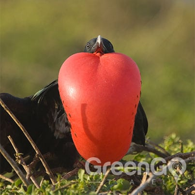 Evolution-in-the-Galapagos-Frigatebird-puffing-red-throat