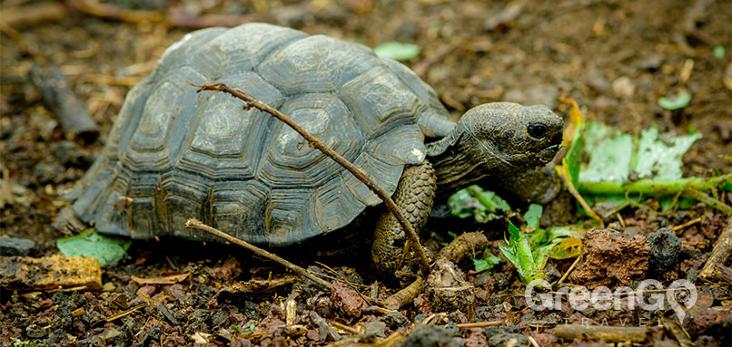 Evolution-in-the-Galapagos-Galapagos-Tortoise