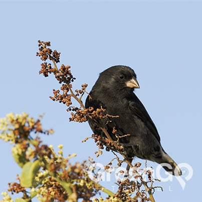 Evolution-in-the-Galapagos-Ground-Finch