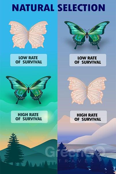 Chart describing natural selection