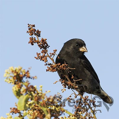 Galapagos-Islands-Conservation-Finch