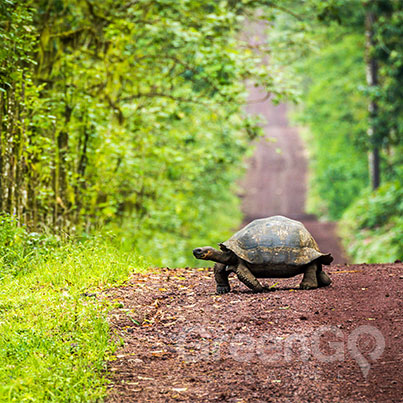Galapagos-Islands-Conservation-Tortoise-walking-across-dirt-road