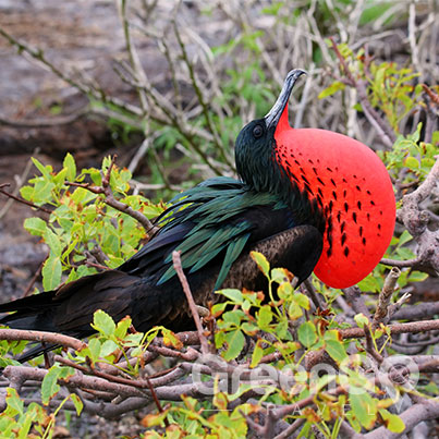 Frigatebird-puffing-throat-in-breeding-season