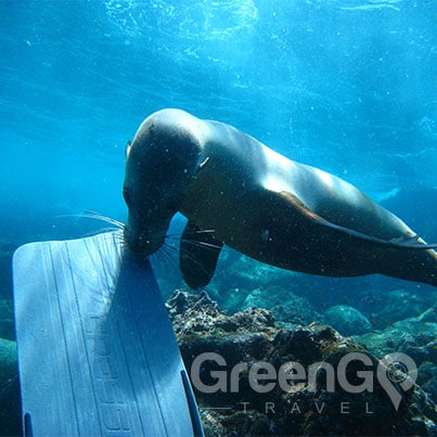 Grand-Queen-Beatriz-Galapagos-Cruise-Highlights-Seal-inspecting-fin-North-Seymour