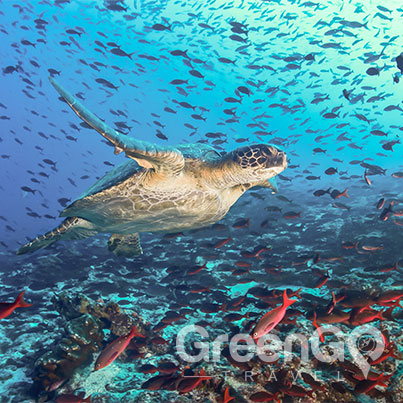 Hawaii-Versus-Galapagos-Sea-turtle-surrounded-by-tropical-fish