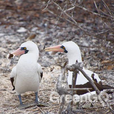 Galapagos-Boobies-sharing-sticks