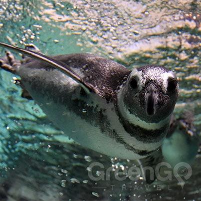 Galapagos-Penguin-swimming
