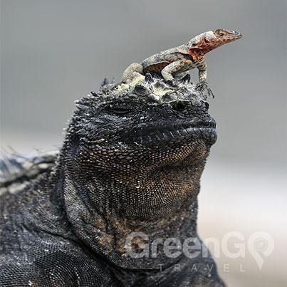 Iguana-with-lizard-on-it's-head