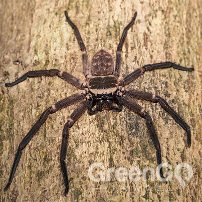Terrifying-Creatures-of-the-Galapagos-Spider