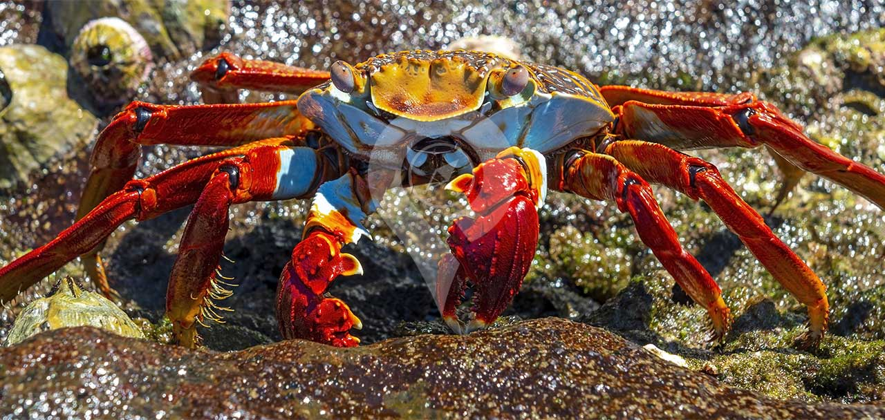 How-to-get-to-galapagos - Crab Picture