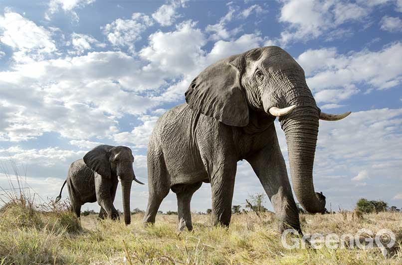 African Safari vs Galapagos Islands - Elephant