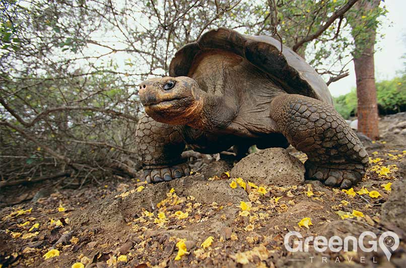 How-many-galapagos-tortoises-are-there-Tortoise