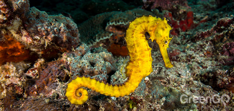 Scuba-Diving-and-Snorkeling-in-the-Galapagos-Giant-School-of-Fish-in-Galapagos-Yellow-Seahorse