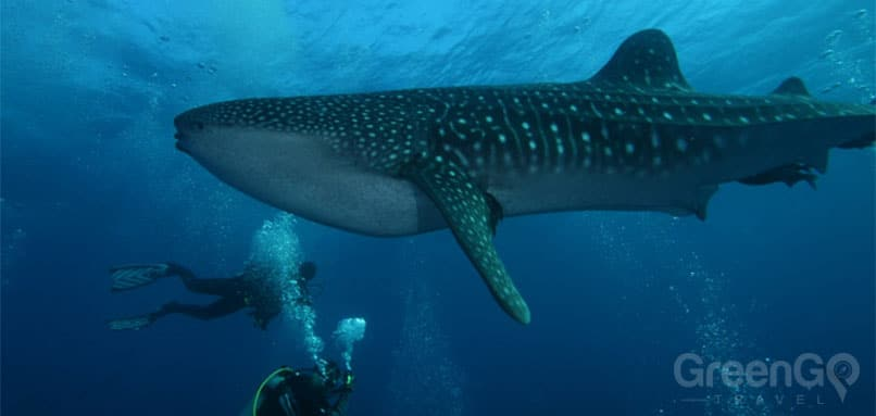 galapagos-snorkeling-and-scuba-diving-guide/scuba-diving-and-snorkeling-in-the-galapagos-whale-shark