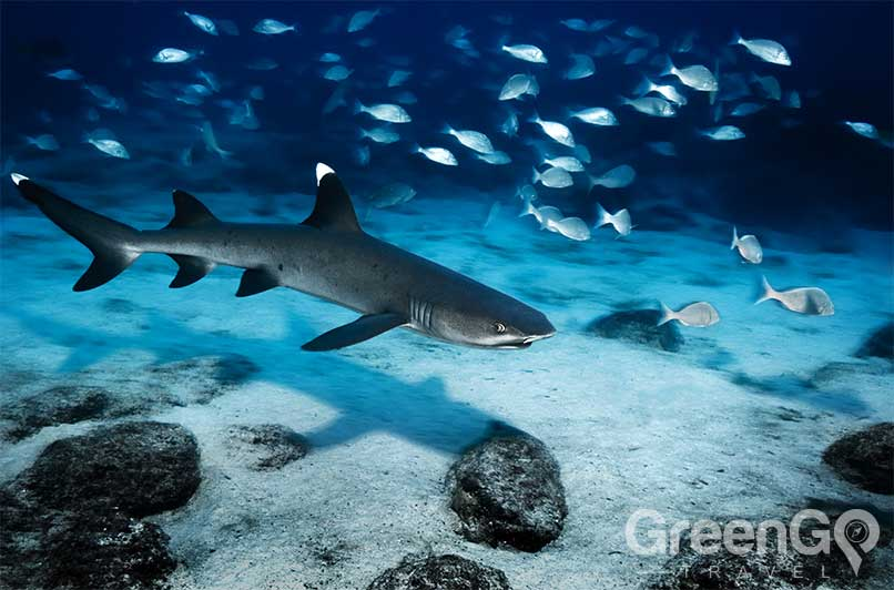 White-Tipped-reef-shark-Galapagos-Sharks