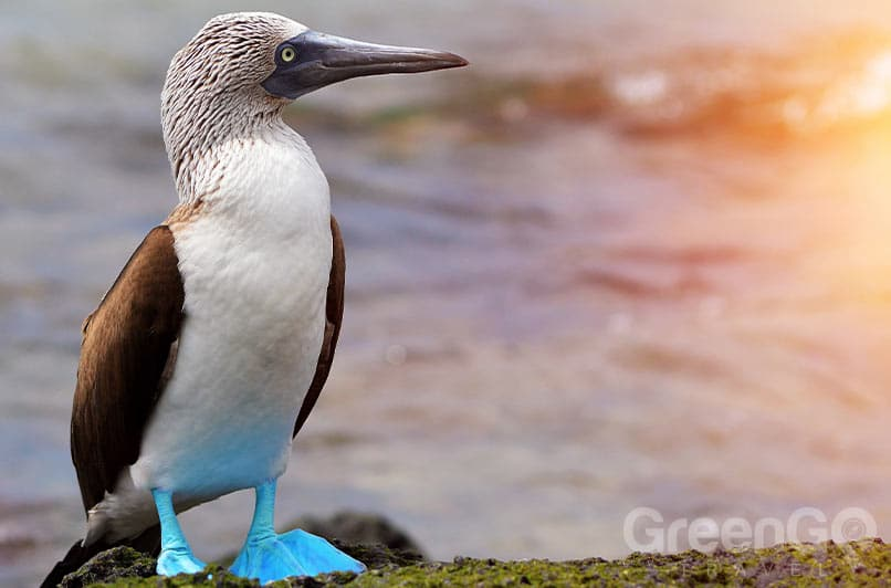 Disney Galapagos cruise - Blue footed booby