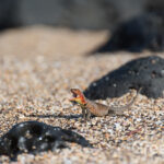 best-time-to-visit-galapagos-to-avoid-seasickness---lizard